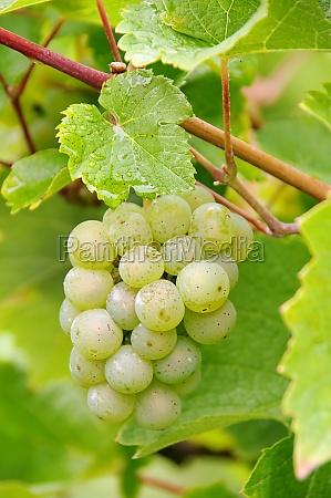 weintraube weiss grape white 02