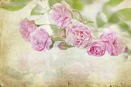 pink roses on vintage paper background