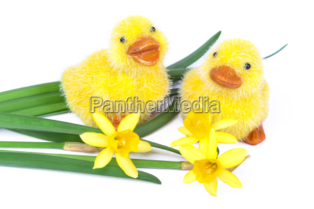 chicks with daffodils easter