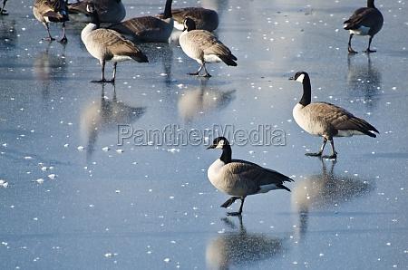 kanada gaense wandern auf frozen lake