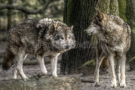the wolf canis lupus