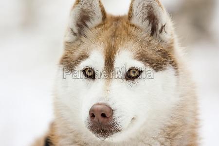 sibirischer husky im schnee