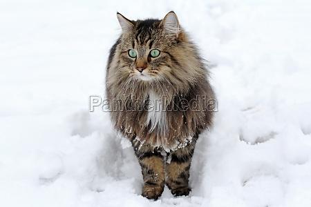 a pretty norwegian forest cat in
