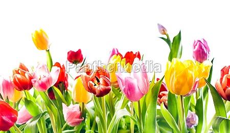 schoener fruehlingshintergrund von bunten tulpen