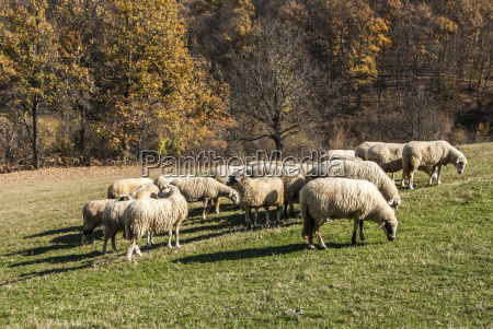 herd of sheep on mountain pasture