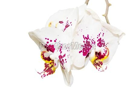 zweig mit drei gefleckte orchideen blueten