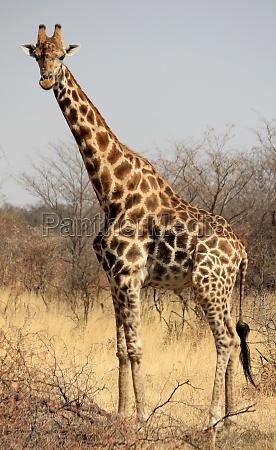 saeugetier afrika namibia wildlife safari giraffe