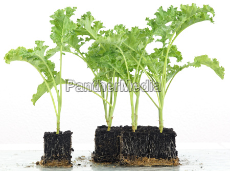 coal seedlings into cubes cultivation
