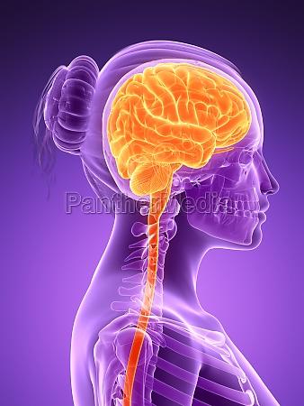 3d rendered illustration female brain