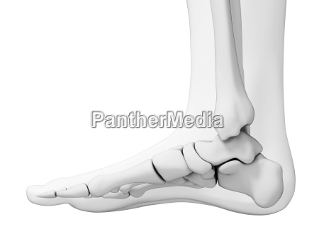 3d rendered illustration skeletal foot