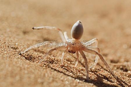 tanzen white lady spider carparachne aureoflava