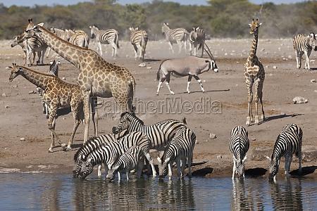giraffe giraffa camelopardalis gemsbok gemsbuck oryx