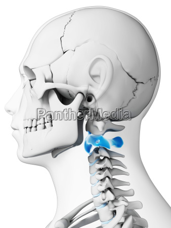 3d rendered illustration axis vertebrae