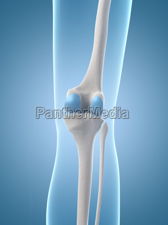 medical illustration of the knee