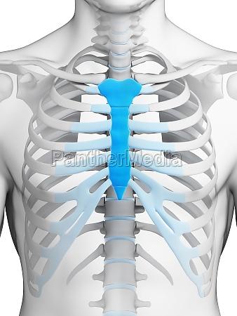 3d rendered illustration breast bone