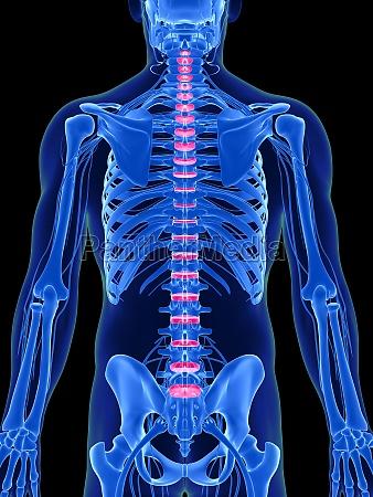3d rendered illustration intervertebral disks