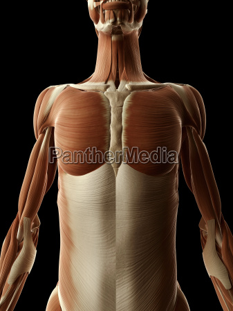 medical illustration of the female muscles