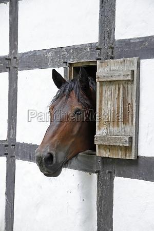 pferd schaut aus einer luke