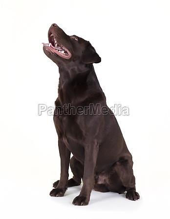 labrador schaut nach oben