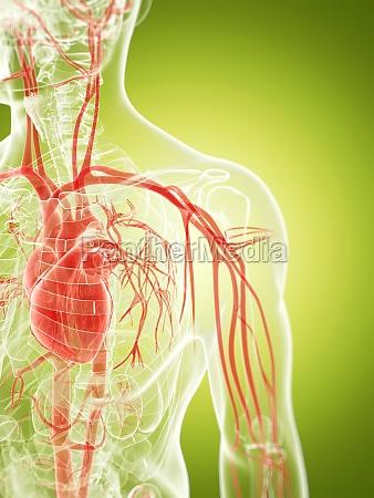 3d rendered illustration of the vascular