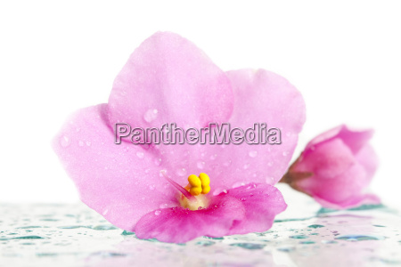 beautiful pink flower with dew