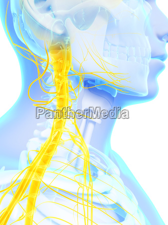 3d rendered illustration spinal cord
