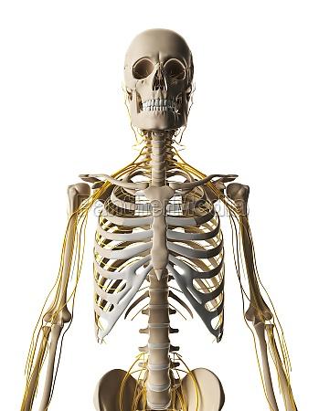 3d rendered illustration male nerve