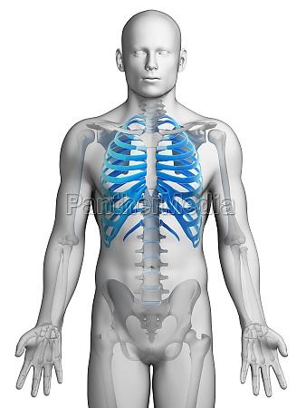 3d rendered illustration skeletal thorax