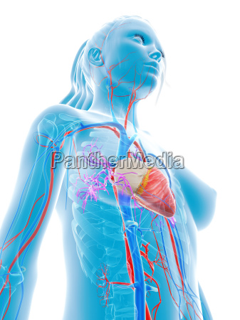 3d rendered medical illustration female
