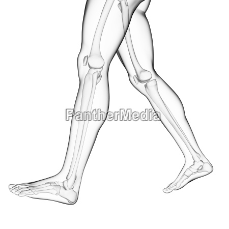 3d rendered illustration of the leg