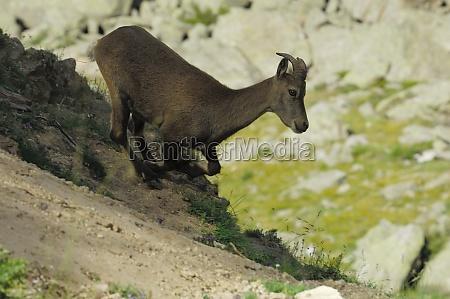 bouquetin capra ibex laufen weiblich herbst