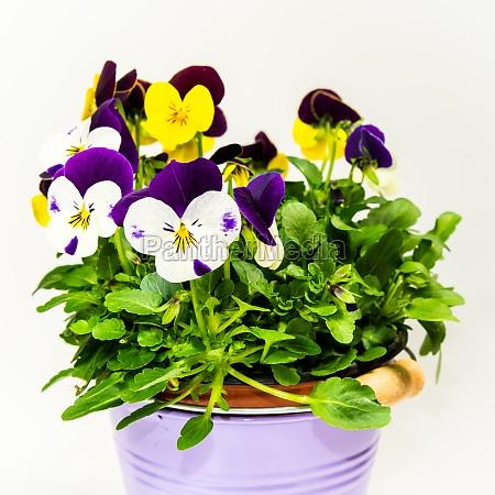 hornveilchen in flowerpot