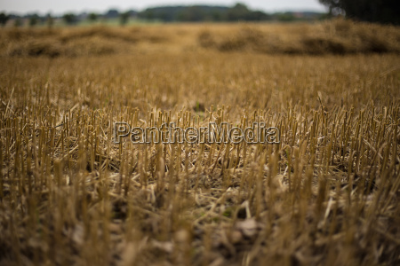 agriculture farming field stubble field harvested