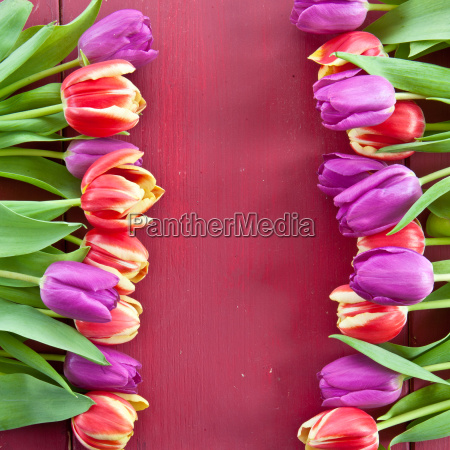 frische tulpen auf rotem hintergrund