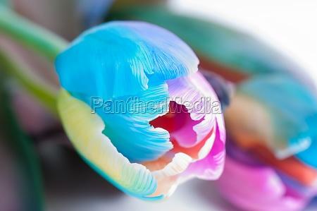 unusual multi colored tulip