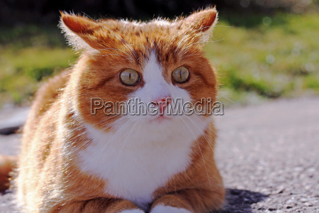 an angry red cat