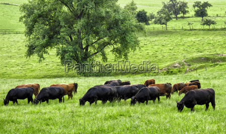 grazing cows on an idyllic meadow