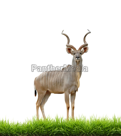 male greater kudu with green grass