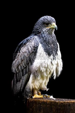 blue buzzard