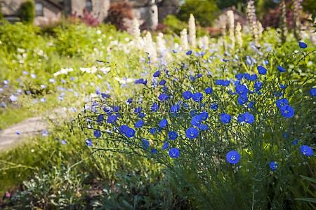 flax flowers in summer garden
