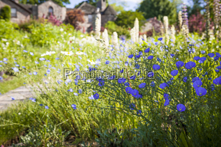 flax flowers in summer garden