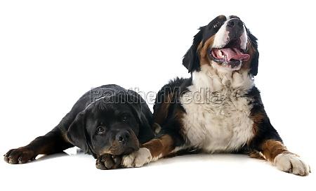 berner berg hund und rottweiler