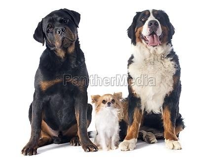 hund welpe rottweiler huendchen