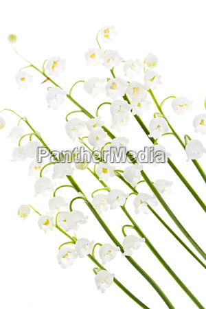 lily of the valley blumen auf