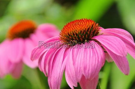 sonnenhut purpur purple coneflower 49