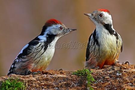 mean woodpecker dendrocopos medius