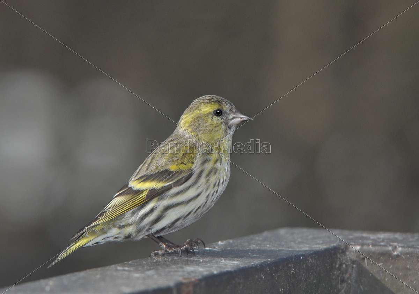Kleiner Finkenvogel Lizenzfreies Foto 11175580 Bildagentur