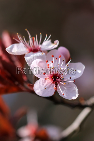 beautiful prunus flowers