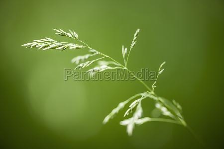 flowering grass on green