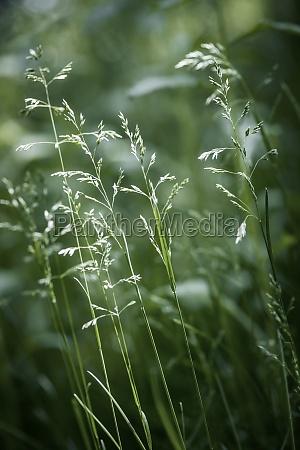evening grass flowering